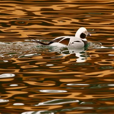 Longbtailed duck in Hamilton Bay