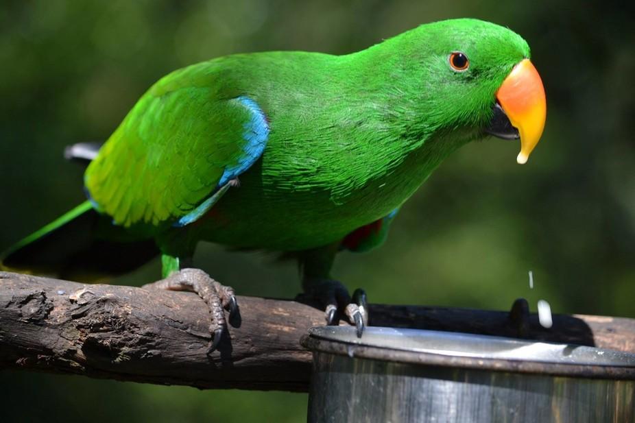 Electus Parrot#Feeding#Kuranda Birdworld,