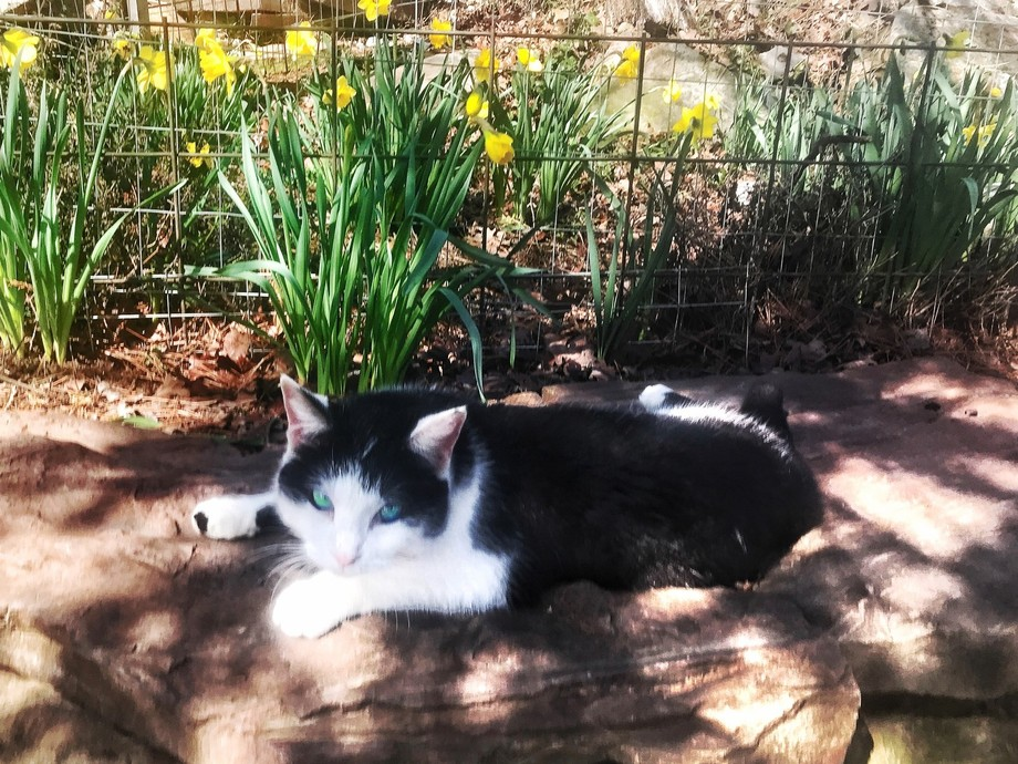 Panda the cat napping in front of daffodils