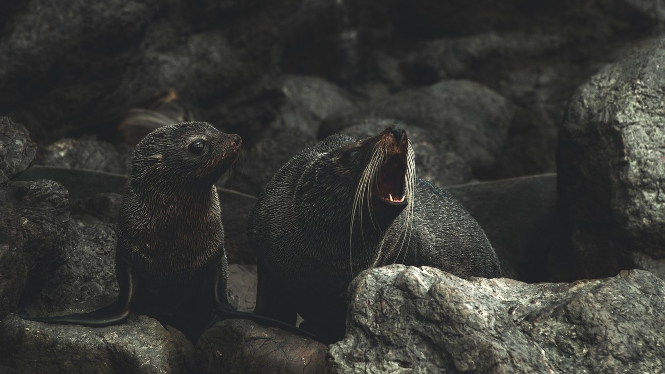 I love the expression on the pup's face when his mum is growling on a big male approching their rocks in Red rocks New Zealand.