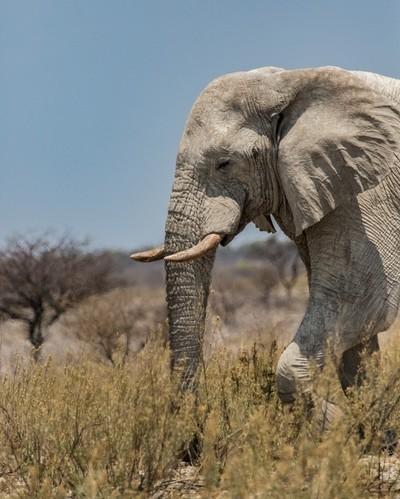 Namibian White Elephant