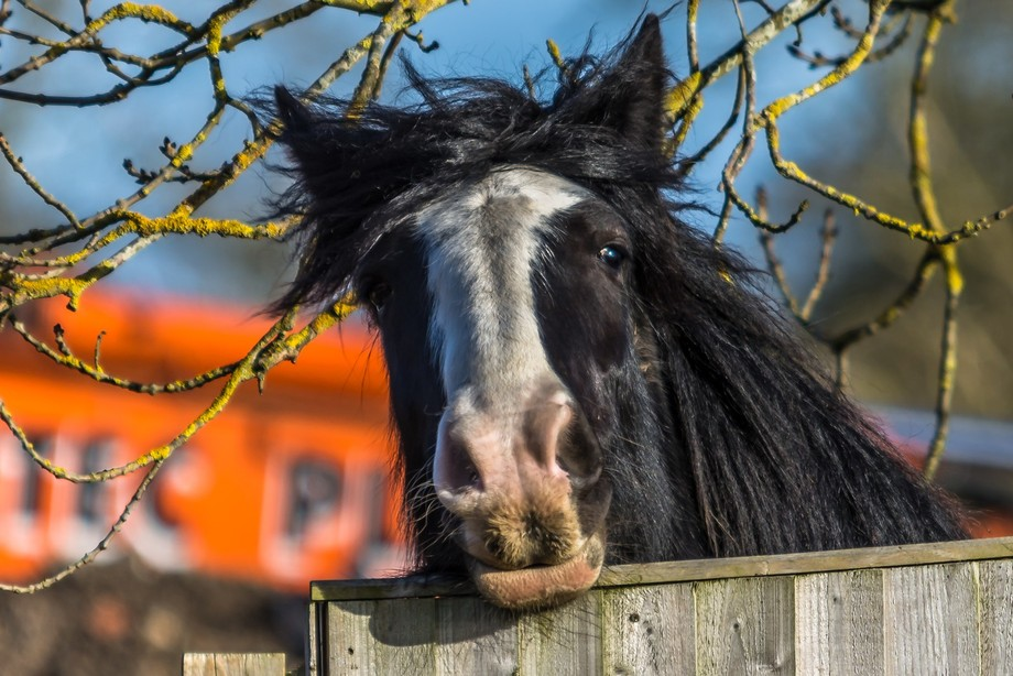 A cross type shire horse peeking over the fence.