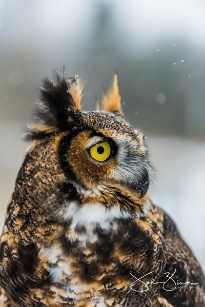 Fresh snowfall on the feathers