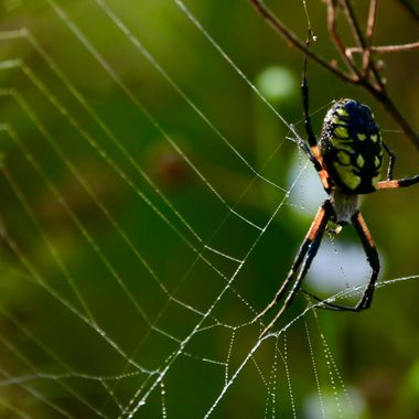 Spider and Dew