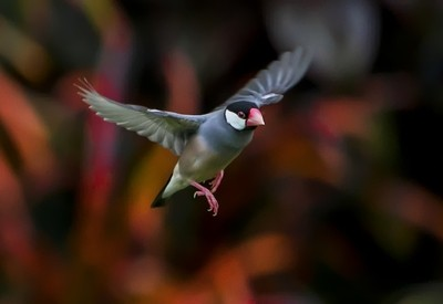 Java Sparrow Dropping By
