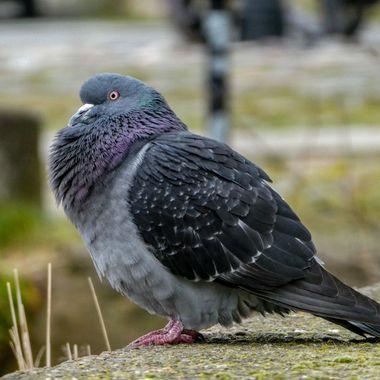 De Pigeon