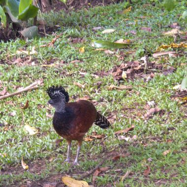 Female Great Curassow - Costa Rica