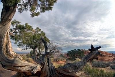 Bristlecone Pine--Arches Nat'l Park