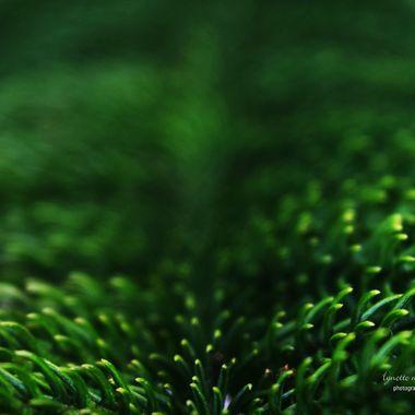Norweigan Pine Branch