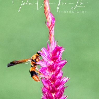 Orange Wasp On Celosia Flower #1