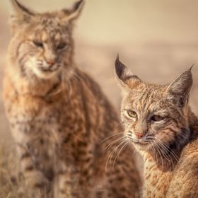 A male and female bobcat in the wild.