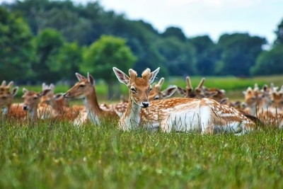Wild Deer in Richmond Park, London