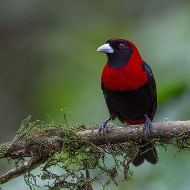 Crimson-Collared Tanager-7887
