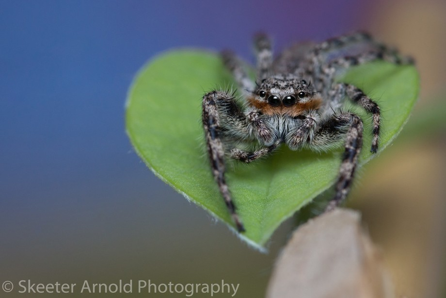 Platycryptus Undatus (male) also known as Tan Jumping Spider. I always thought they were called c...