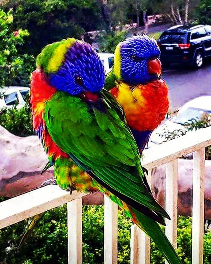 Australian lorikeet parrots.  Intelligent, timid and photogenic so it's easy to capture ...