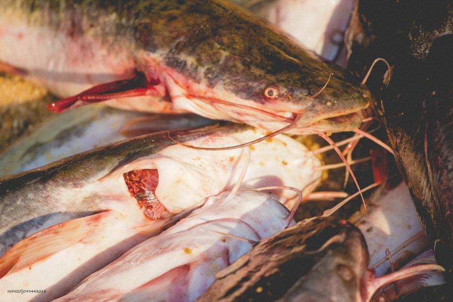 mlamba fish close up