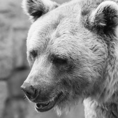 a beautiful portrait of a bear in black and white