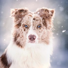 a portrait of my special model Ciro, a beautiful younger border collie