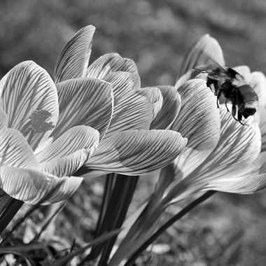 A bee flying towards a group of crocuses.