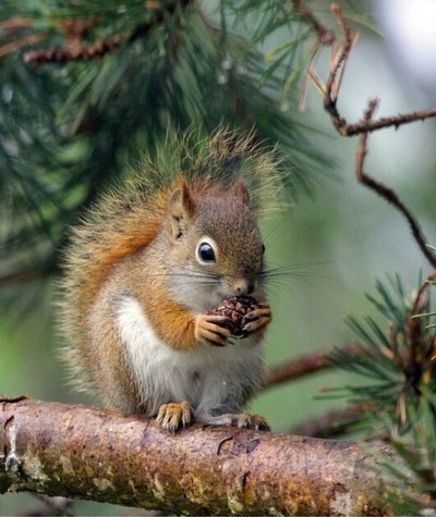 Red squirrel in pine.