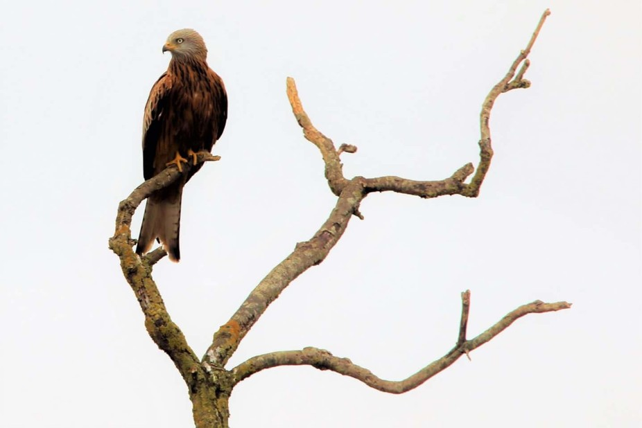 Red kite on perch