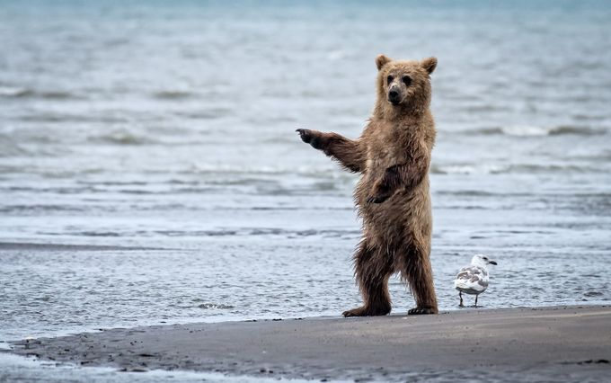 Cub Pointing on the Beach by JDay - Wildlife And Water Photo Contest