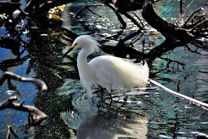 """From Wikipedia, the free encyclopedia """"Snowy heron"""" redirects here. For the 1958 Japanese film, see The Snowy Heron.  This article includes a list of references, but its sources remain unclear because it has insufficient inline citations. Please help to improve this article by introducing more precise citations. (November 2010) (Learn how and when to remove this template message) Snowy egret Egretta thula at Las Gallinas Wildlife Ponds.jpg Conservation status  Least Concern (IUCN 3.1)[1] Scientific classification e Kingdom:Animalia Phylum:Chordata Class:Aves Order:Pelecaniformes Family:Ardeidae Genus:Egretta Species:E. thula Binomial name Egretta thula (Molina, 1782) Egretta thula map.svg Range of E. thula      Breeding range      Year-round range      Wintering range Synonyms Leucophoyx thula  The snowy egret (Egretta thula) is a small white heron. The genus name comes from the Provençal French for the little egret aigrette, a diminutive of aigron, """"heron"""". The species name thula is the Araucano for the Black-necked Swan, applied to this species in error by Chilean naturalist Juan Ignacio Molina in 1782.[2]  The snowy egret is the American counterpart to the very similar Old World little egret, which has established a foothold in the Bahamas. At one time, the beautiful plumes of the snowy egret were in great demand by market hunters as decorations for women's hats. This reduced the population of the species to dangerously low levels.[citation needed] Now protected in the United States by law, under the Migratory Bird Treaty Act, this bird's population has rebounded."""