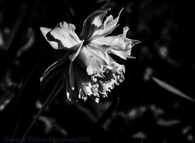 Daffodil in Black & White