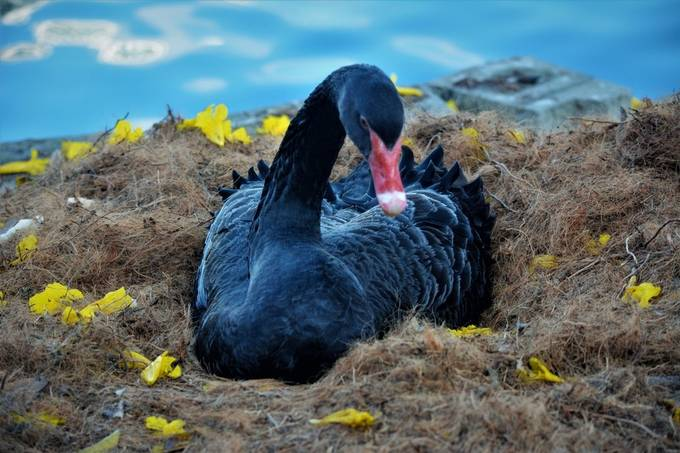 """From Wikipedia, the free encyclopedia   (Redirected from Black Swan) For other uses, see Black swan (disambiguation). Black swan Black Swan at Martin Mere.JPG Conservation status  Least Concern (IUCN 3.1)[1] Scientific classification e Kingdom:Animalia Phylum:Chordata Class:Aves Order:Anseriformes Family:Anatidae Genus:Cygnus Species:C. atratus Binomial name Cygnus atratus (Latham, 1790) Subspecies C. a. atratus black swan Synonyms Anas atrata Latham, 1790 Chenopis atratus The black swan (Cygnus atratus) is a large waterbird, a species of swan which breeds mainly in the southeast and southwest regions of Australia. A New Zealand subspecies was apparently hunted to extinction by Māori, but the species was reintroduced to New Zealand in the 1860s.[2] Within Australia they are nomadic, with erratic migration patterns dependent upon climatic conditions. Black swans are large birds with mostly black plumage and red bills. They are monogamous breeders, and are unusual in that one-quarter of all pairings are homosexual, mostly between males. Both partners share incubation and cygnet rearing duties.  Black swans were introduced to various countries as an ornamental bird in the 1800s, but have escaped and formed stable populations. A small population of black swans exists on the River Thames at Marlow, on the Brook running through the small town of Dawlish in Devon (they have become the symbol of the town) and near the River Itchen, Hampshire, there is also one on the River Tees near Stockton on Tees.[3] Described scientifically by English naturalist John Latham in 1790, the black swan was formerly placed into a monotypic genus, Chenopis. Black swans can be found singly, or in loose companies numbering into the hundreds or even thousands.[4] Black swans are popular birds in zoological gardens and bird collections, and escapees are sometimes seen outside their natural range.  Description  Side view of mature adult showing characteristic """"S"""" neck  Near Devonport, Tasmania with"""