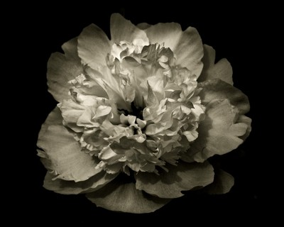 Pink Peony In Black And White