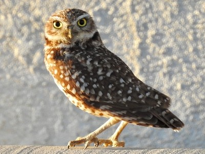 Burrowing Owl in our neighborhood