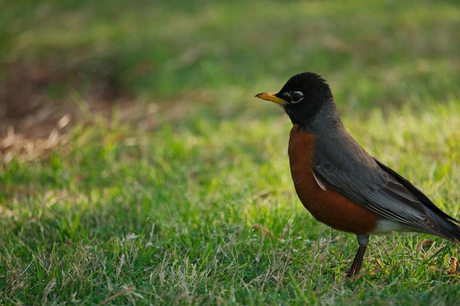 The American robin (Turdus migratorius) is a migratory songbird of the true thrush genus and Turd...