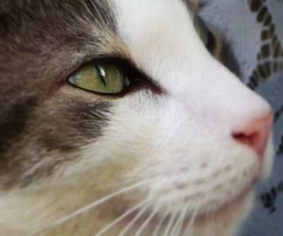 Kiwi the lovely cat and his beautiful eyes  P1090035 copy