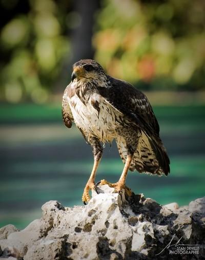 Oiseau de Cuba