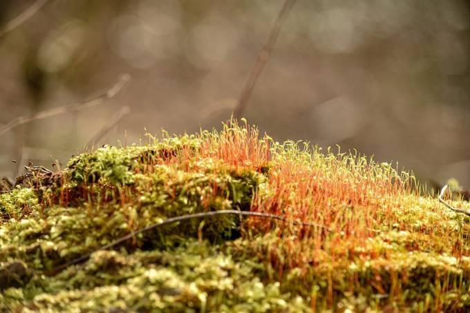 Taken in Crane Park West London. Moss growing on a fallen tree with sunlight shining on it.