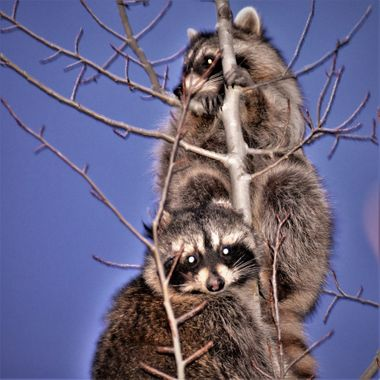 Caught these 2 along the Rainy River and chased them up a tree a tree to get this photo. Nikon 3400 portrait with flash