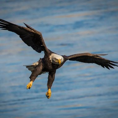 Bald Eagle on the hint for a Susquehanna Fish