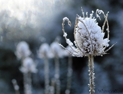 Thistles in Winter
