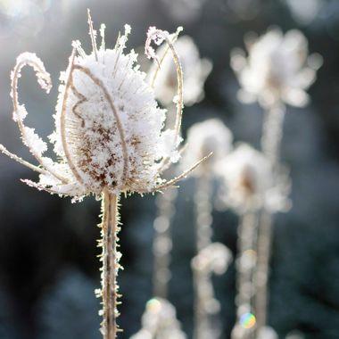 Thistles in Winter Sun