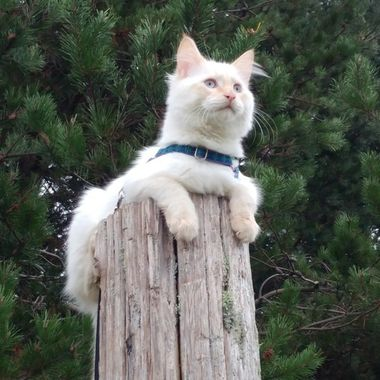 'Purrfect Post' - Magnum (Maggs) - comfy up a post in the Gardens in Parksville Visitor Centre on Nov 10, 2016 - He is a Flame Point, Doll Face (or 'Traditional') Persian
