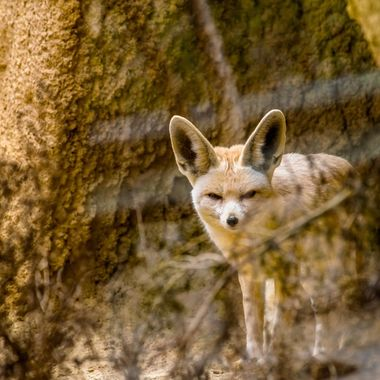 a shot taken of a curious Fennec Fox
