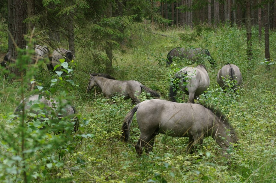 Wld horses in the deepest forests of Mazury / Poland