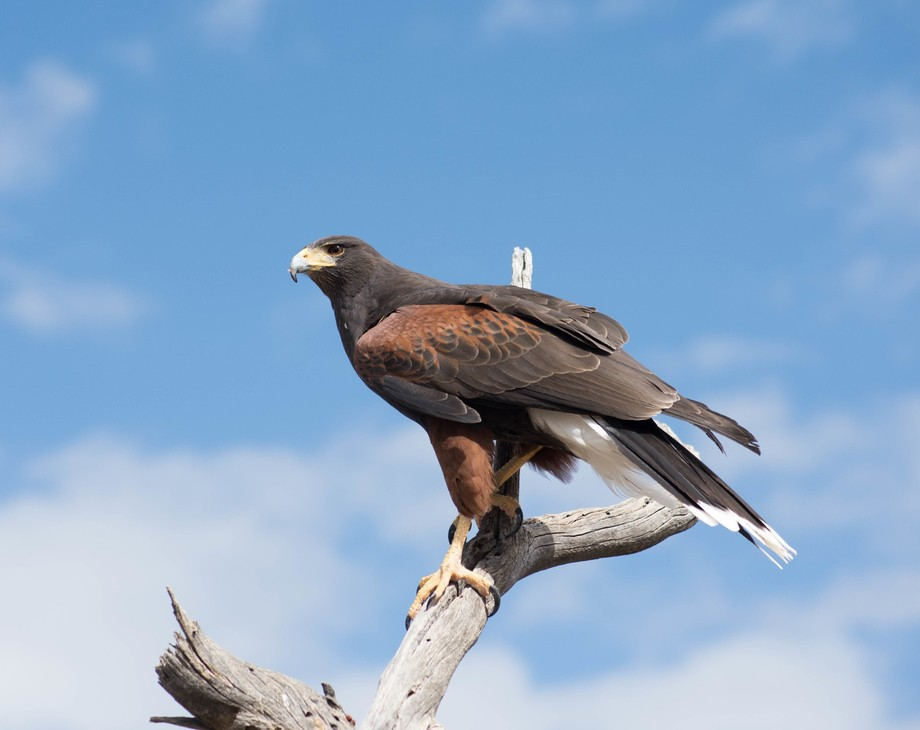 Harris hawks hunt in groups of two or three. One distracts the prey and the others dive down and grab it.   Usually there is a dominant female to guide the hunt. This one had its mate above us and she was about ten feet from me. Beautiful bird. Lens: Nkon 70-300mm