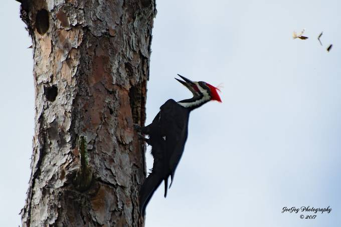 Taken with Nikon D5100 using AF-S Nikkor 70-300mm 1:4.5-5.6 G lens. Enhanced and resized using Photoshop Elements 14.1. This shot was taken while the woodpecker was drilling for a nest.  You can see some wood chips flying above and to the right of the woodpecker.