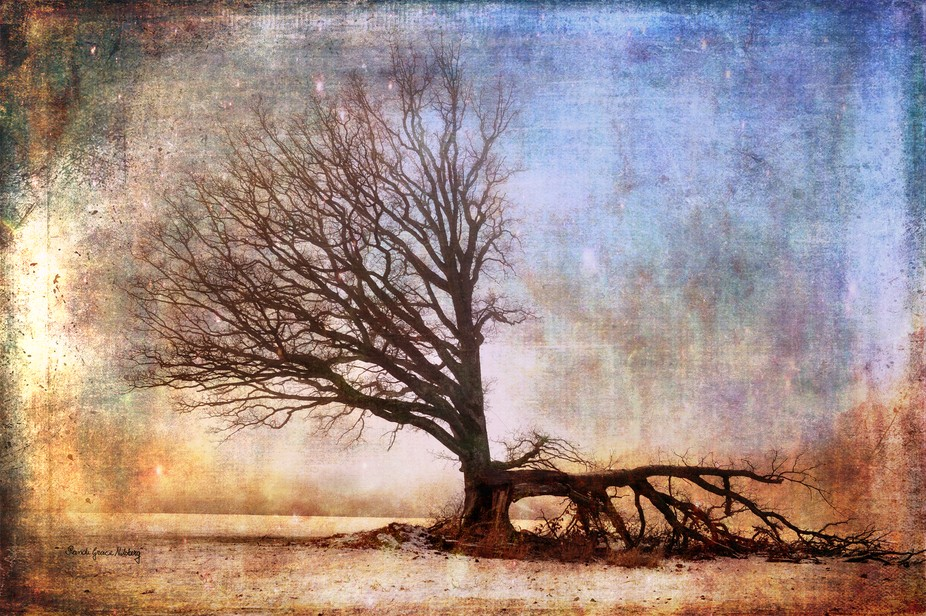 This beautiful old tree finally had to give up the fight against wind and natural forces.  For hu...