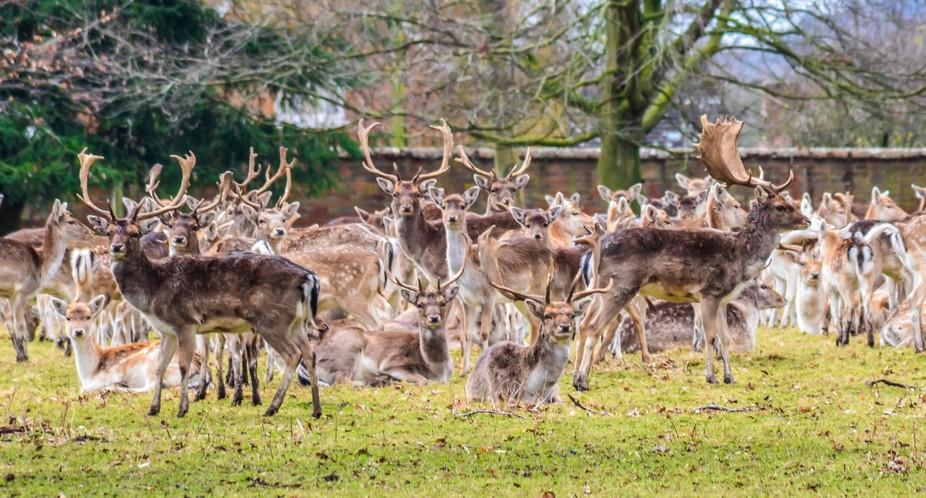 Englefield Deers