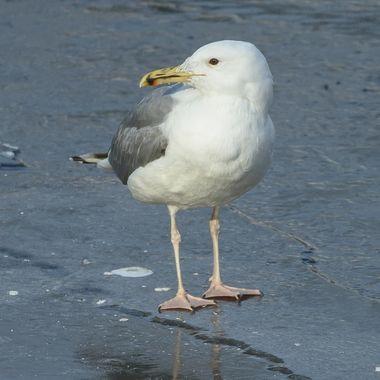 European herring gull (Larus argentatus) (4)