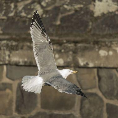 European herring gull (Larus argentatus) (1)