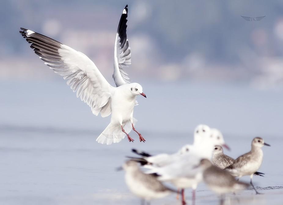 Brown-headed Gull landing...