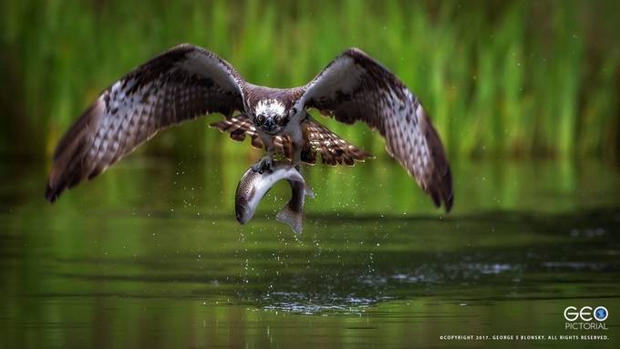 Osprey Catch by geopic - Wildlife And Water Photo Contest